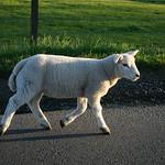 Lamb, 26-5-2007 (IMG_6052) 10D Max