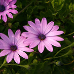 Livingstone Daisies at Fistral Beach, Newquay