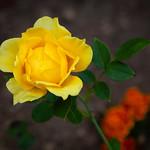 Benson & Hedges Rose (Home Garden)