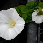 Bindweed flower, Moorswater