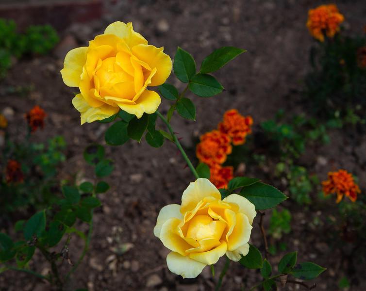 Benson & Hedges Roses (Home Garden)