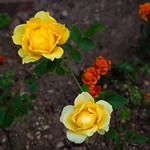 Benson & Hedges Roses (Home Garden)