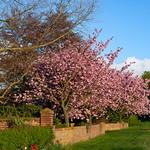 Leven - Cherry Tree, 3-5-2010 (IMG_2425) 4k