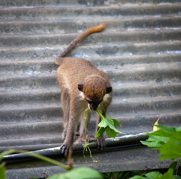 Barbados - Monkey at Benny Hall (BNR), 23-11-2011 (IMG_5869) 4k