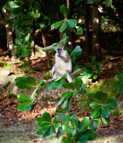 Barbados - Monkey at Benny Hall (BNR), 23-11-2011 (IMG_5883) 4k