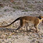 Barbados - Monkey at Benny Hall (BNR), 23-11-2011 (IMG_5882) 4k