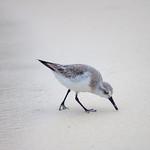 Barbados - Sandpiper on Maxwell Beach, 24-11-2011 (IMG_5912) 4k
