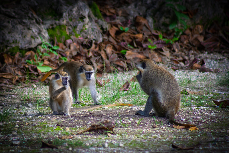 Barbados - Monkeys at Benny Hall (BNR), 23-11-2011 (IMG_5879) 4k