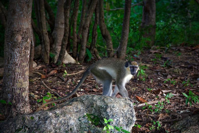 Barbados - Monkey at Benny Hall (BNR), 23-11-2011 (IMG_5889) 4k