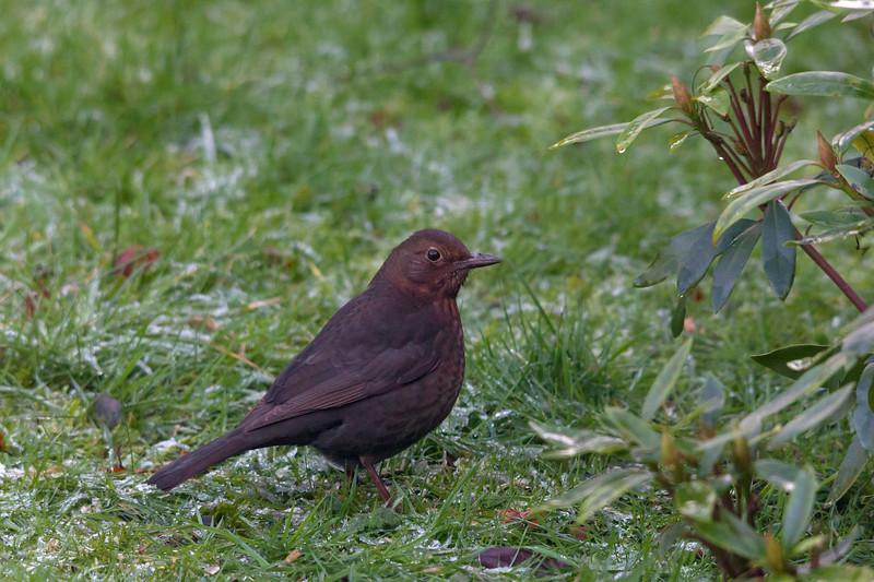 Female black bird, Garforth, 15-1-2012 (IMG_6421) 4k