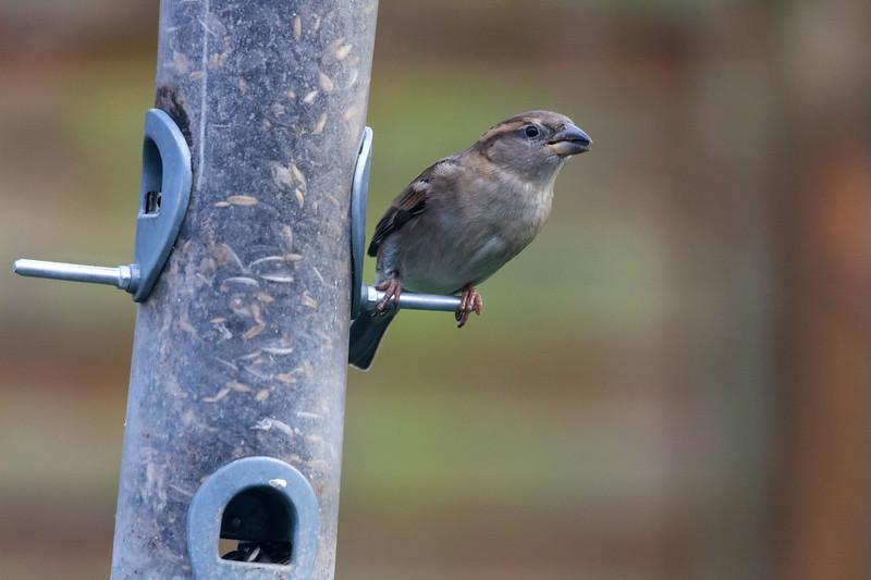 Sparrow on feeder, Garforth, 15-1-2012 (IMG_6435) 4k