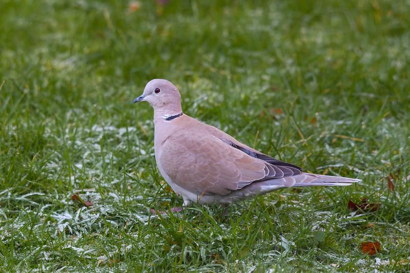 Dove, Garforth, 15-1-2012 (IMG_6420) 4k