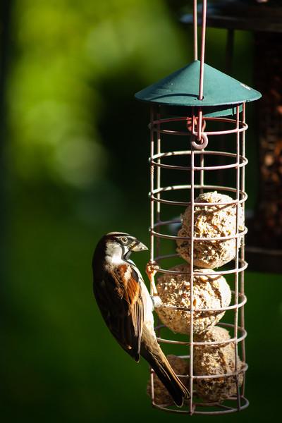 House Sparrow at Rock Leigh, 9-10-2012 (IMG_0203) 4k