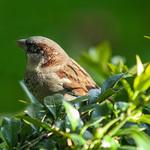 House Sparrow at Rock Leigh, 9-10-2012 (IMG_0183) 4k