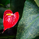 Eden Project - Red Anthurium, 28-6-2013 (IMG_3725) 4k