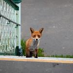Bognor Regis Fox, 30-8-2013 (IMG_5831) crop Max