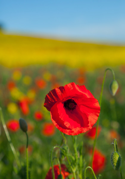 Poppy in Darrington Field