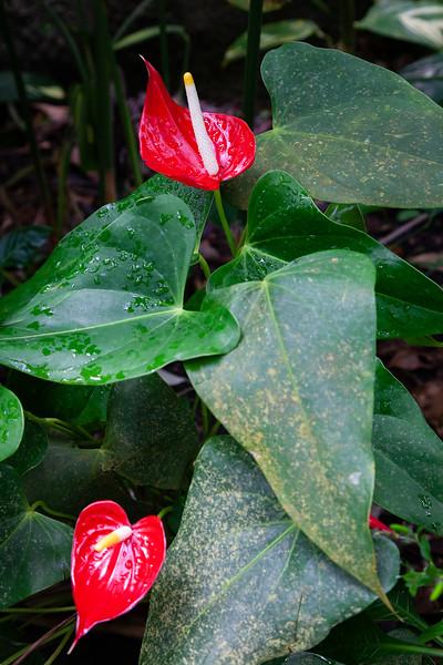 Eden Project - Red Anthurium, 28-6-2013 (IMG_3726) 4k