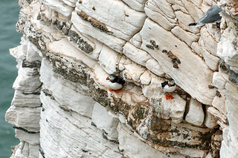 Bempton Cliffs - Puffins, 21-7-2013 (IMG_4350) 4k