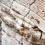 Bempton Cliffs - Puffins, 21-7-2013 (IMG_4348) 4k
