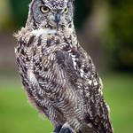 Carleton Grange - True Owl, 25-7-2013 (IMG_4775) 4k