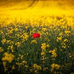 Carleton - Poppy in a Yellow Field, 23-6-2013 (IMG_3325) 4k