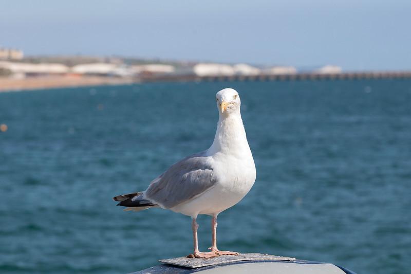 Sea Gull at Brighton