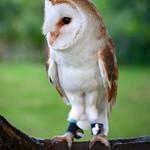 Carleton Grange - Barn-owl, 25-7-2013 (IMG_4763) 4k