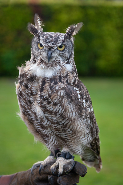 Carleton Grange - True Owl, 25-7-2013 (IMG_4770) 4k