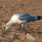Blackpool Beach, Devon, Non Breeding Herring Gull, 25-6-2013 (IMG_3570) 4k