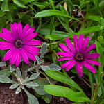 Eden Project - Osteospermum 'Sunny Mary' (Sunny Series) African Daisy, 28-6-2013 (IMG_3747) 4k