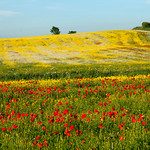 Darrington Poppy Fields