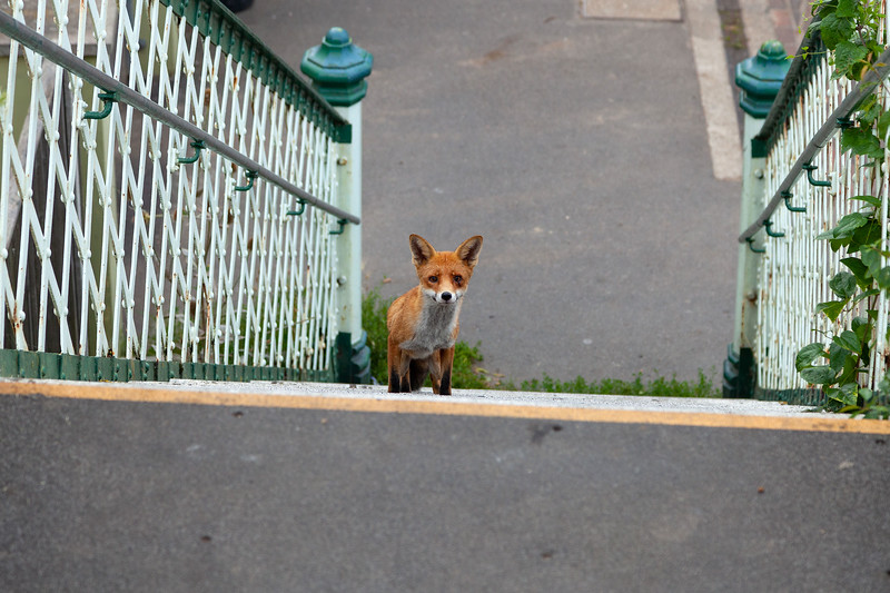 Bognor Regis Fox, 30-8-2013 (IMG_5831) 4k