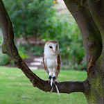 Carleton Grange - Barn-owl, 25-7-2013 (IMG_4762) 4k