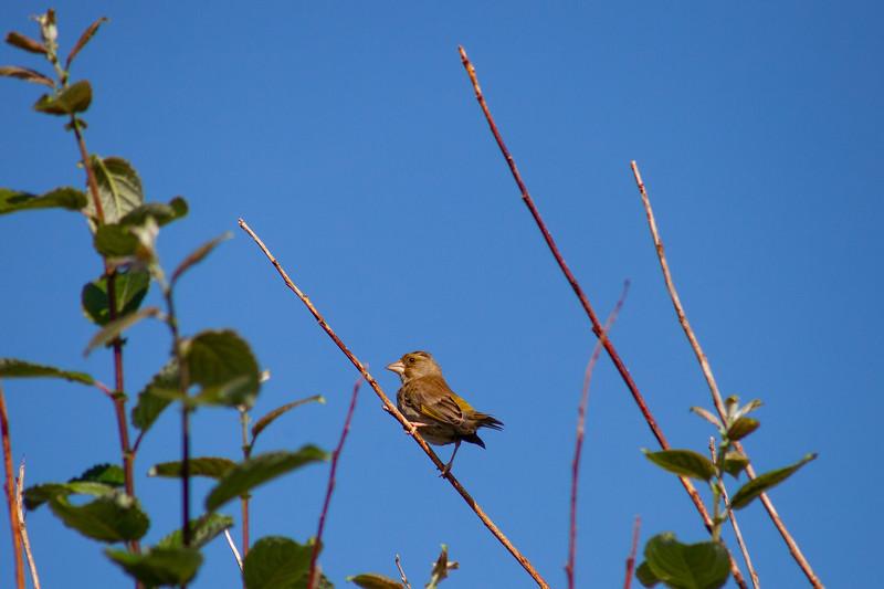 Ulrome - Juvenile Greenfinch, 24-7-2013 (IMG_4758) 4k