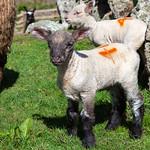 Lands End Lambs, 6-5-2014 (IMG_9673) 4k
