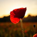 Poppy Silhouette, 16-6-2014 (IMG_0739) 4k