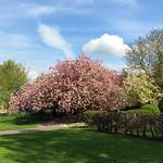 Pontefract - Valley Gardens Cherry Trees, 24-4-2014 (IMG_6379) iPhone 5S Max