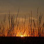 Sunset Grass, Barkston Ash