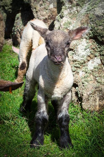 Lands End Lamb, 6-5-2014 (IMG_9671) 4k