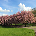 Pontefract - Valley Gardens Cherry Trees, 24-4-2014 (IMG_6378) iPhone 5S Max