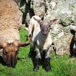 Lands End Lambs, 6-5-2014 (IMG_9671) 4k
