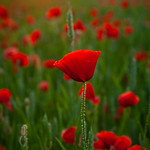 Poppy Field, 16-6-2014 (IMG_0752) 4k