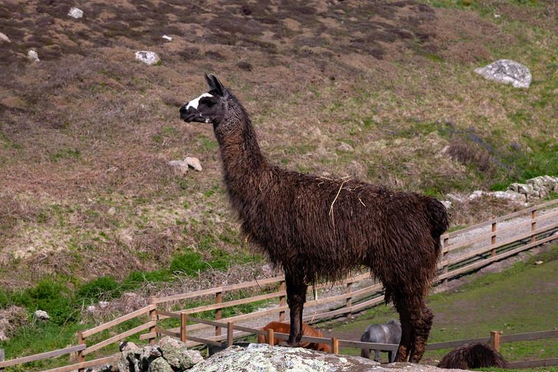 Lands End - Llama, 6-5-2014 (IMG_9676) 4k