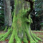 Cairndow Elephant Tree