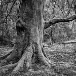 Cairndow Elephant Tree, 23-2-2014 (IMG_8496) Nik SEP2 High Structure Harsh 4k