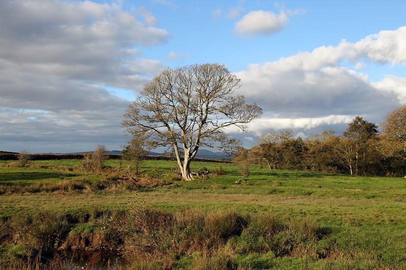 Muncaster Tree