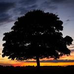 Beverley Westwood Tree