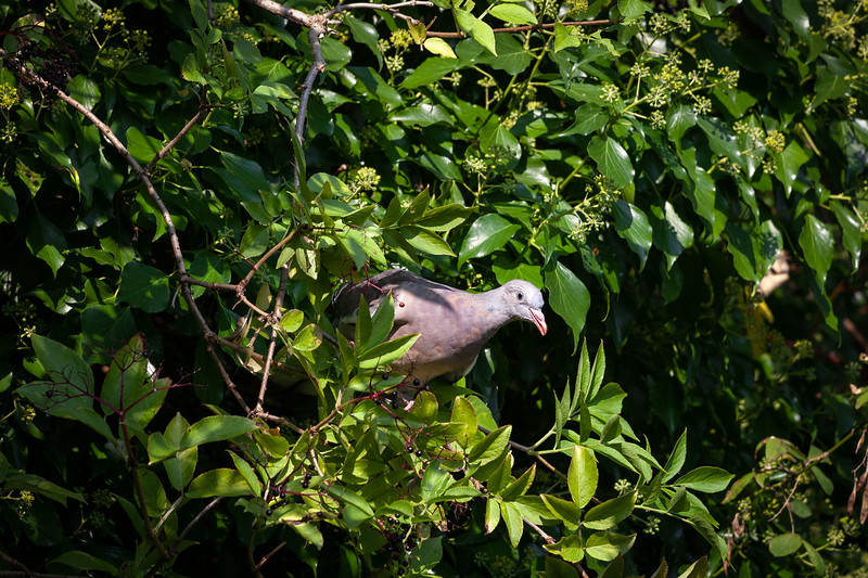 Pigeon in the bush