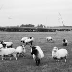 Fraisthorpe - Sheep & Wind Farm Construction, 23-1-2016 (IMG_9524) 4k